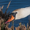 Mute Swan, Cygnus olor 7759