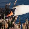 Mute Swan, Cygnus olor 7763