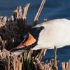 Mute Swan, Cygnus olor 7765