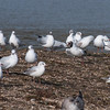 Black-headed Gulls, Chroicocephalus ridibundus 7746