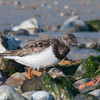 Turnstone, Arenaria interpres 7706