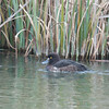 Tufted Duck, female, Aythya fuligula 1175