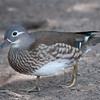 Mandarin Duck, female, Aix galericulata 1261