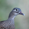 Mandarin Duck, female, Aix galericulata 1774