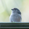 Long-tailed Tit tapping on window, Aegithalos caudatus 1577