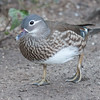 Mandarin Duck, female, Aix galericulata 1250