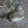 Mandarin Duck, female, Aix galericulata 1433
