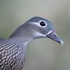 Mandarin Duck, female, Aix galericulata 1782