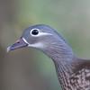 Mandarin Duck, female, Aix galericulata 1792