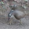 Mandarin Duck, female, Aix galericulata 1253