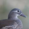 Mandarin Duck, female, Aix galericulata 1784