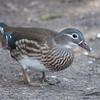 Mandarin Duck, female, Aix galericulata 1255