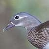 Mandarin Duck, female, Aix galericulata 1790
