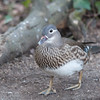 Mandarin Duck, female, Aix galericulata 1239