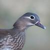 Mandarin Duck, female, Aix galericulata 1785