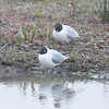 Black-headed Gulls, Chroicocephalus ridibundus 1167