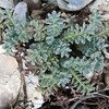 Yellow Horned Poppy, Glaucium flavum 9010