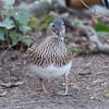 Mandarin Duck, female, Aix galericulata 1236