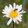Black-striped Longhorn Beetle, female, Stenurella melanura on Oxeye Daisy, Chrysanthemum leucanthemum 7069