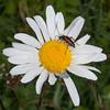 Black-striped Longhorn Beetle, female, Stenurella melanura on Oxeye Daisy, Chrysanthemum leucanthemum 7073