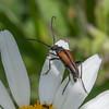 Black-striped Longhorn Beetle, male, Stenurella melanura on Oxeye Daisy, Chrysanthemum leucanthemum 7132