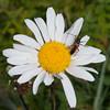 Black-striped Longhorn Beetle, female, Stenurella melanura on Oxeye Daisy, Chrysanthemum leucanthemum 7074-2