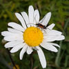 Black-striped Longhorn Beetle, female, Stenurella melanura on Oxeye Daisy, Chrysanthemum leucanthemum 7075