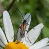 Black-striped Longhorn Beetle, male, Stenurella melanura on Oxeye Daisy, Chrysanthemum leucanthemum 7129