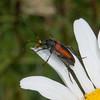 Black-striped Longhorn Beetle, female, Stenurella melanura on Oxeye Daisy, Chrysanthemum leucanthemum 7076