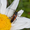 Black-striped Longhorn Beetle, female, Stenurella melanura on Oxeye Daisy, Chrysanthemum leucanthemum 7074