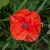 Red Poppy, Papaver rhoeas 7145