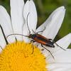 Black-striped Longhorn Beetle, female, Stenurella melanura on Oxeye Daisy, Chrysanthemum leucanthemum 7075-2