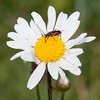 Black-striped Longhorn Beetle, female, Stenurella melanura on Oxeye Daisy, Chrysanthemum leucanthemum 7072