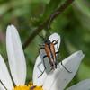 Black-striped Longhorn Beetle, male, Stenurella melanura on Oxeye Daisy, Chrysanthemum leucanthemum 7130