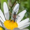 Black-striped Longhorn Beetle, male, Stenurella melanura on Oxeye Daisy, Chrysanthemum leucanthemum 7128
