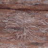 Ash Bark Beetle, Hylesinus varius 5254
