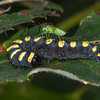Alder Moth larva, Acronicta alni and Common Green Capsid, Lygocoris pabulinus 0344