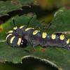 Alder Moth larva, Acronicta alni 0343