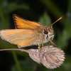 Essex Skipper, Thymelicus lineola 0381