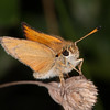 Essex Skipper, Thymelicus lineola 0383