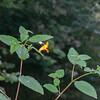 Orange Balsam, Impatiens capensis redflora 0391