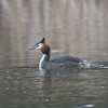Great Crested Grebe, Podiceps cristatus 3248