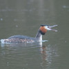 Great Crested Grebe, Podiceps cristatus 3147