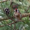 Goldfinch feeding on pine cones, Carduelis carduelis 2762