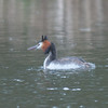 Great Crested Grebe, Podiceps cristatus 3206