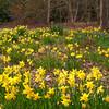 Daffodil, Narcissus pseudonarcissus 44969