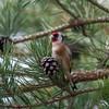 Goldfinch feeding on pine cones, Carduelis carduelis 2767