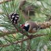 Goldfinch feeding on pine cones, Carduelis carduelis 2757