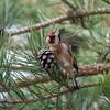 Goldfinch feeding on pine cones, Carduelis carduelis 2765