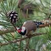 Goldfinch feeding on pine cones, Carduelis carduelis 2760